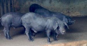 Vom schwarzen Schwein kommt die gute Wurst.