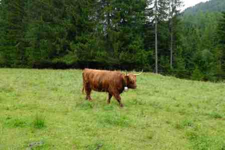Die Kuh im Allgäu trägt in dieser Saison Glocke.
