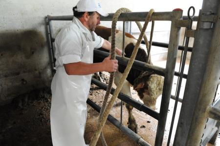 Das Rind kommt aus der Umgebung.
