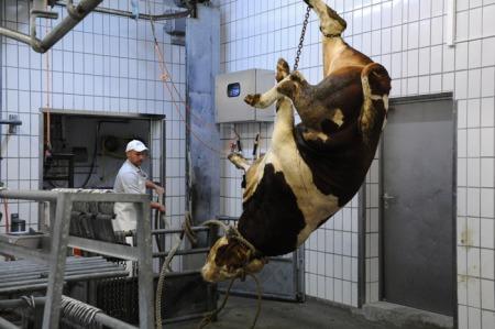 Das Rind wird für das Zerteilen vorbereitet.
