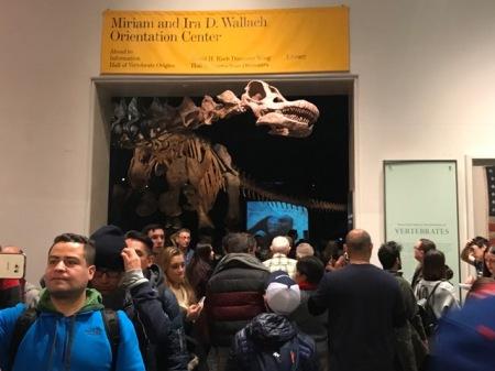 Der Titanosaurier passt nicht vollständig in den Saal des American Museum of Natural History. Sein Kopf schaut aus dem Saal heraus und begrüßt die Besucher am Eingang der Dino-Abteilung.